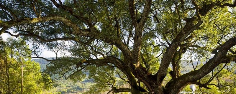 樟树是什么植物