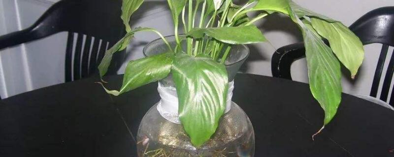 水培富贵竹多久换一次水