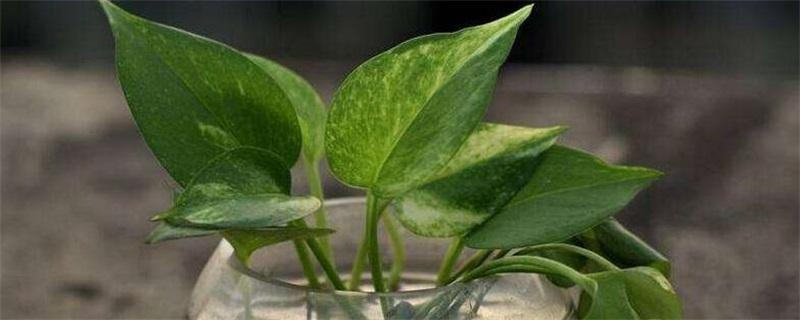 水养绿萝怎么施肥