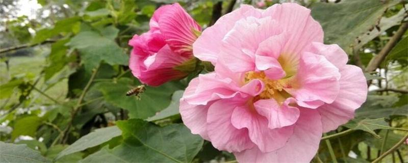 芙蓉花的养殖方法