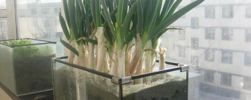 水培葱的方法