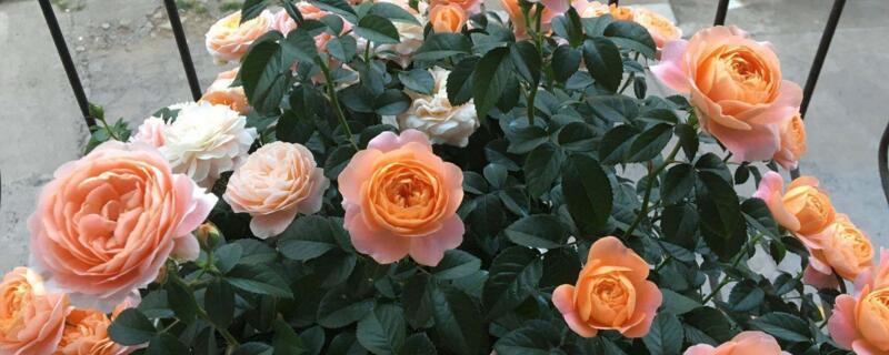 月季花可以在室内养吗