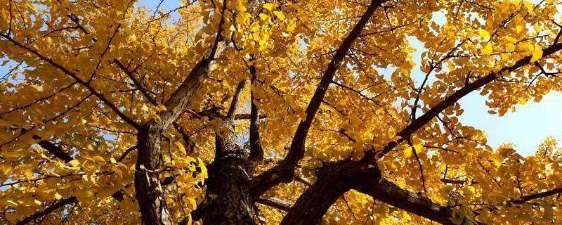北京银杏树_北京银杏树什么时候黄