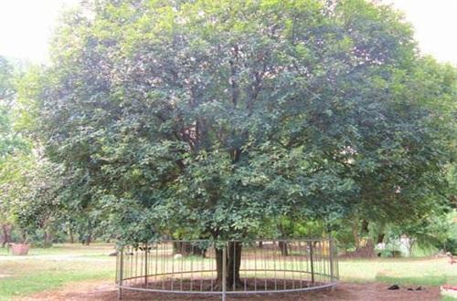 桂花树不宜种在哪里,医院和室内不可种植