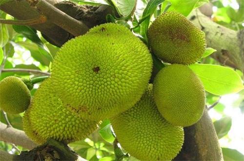 菠萝蜜哪里产的好吃,属海南地区的最好吃