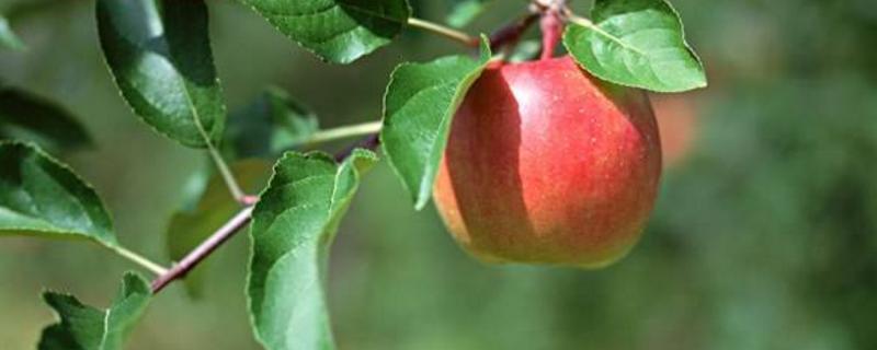 苹果树苗几年挂果