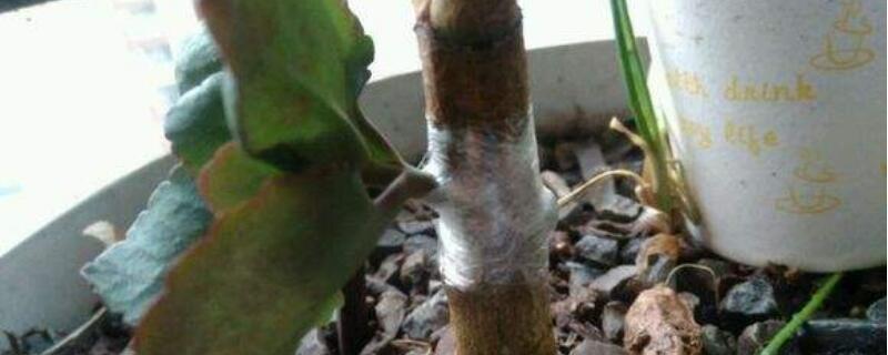 玉树嫁接长寿花的时间