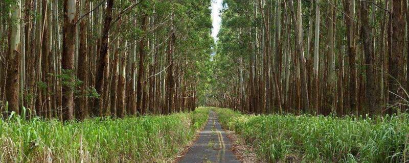 杏仁桉树能种中国吗