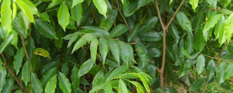 沉香树适合种在什么地方