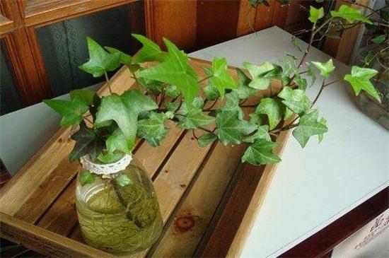 富贵竹可以土养吗_适合水养的室内植物