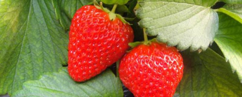草莓生长在哪里