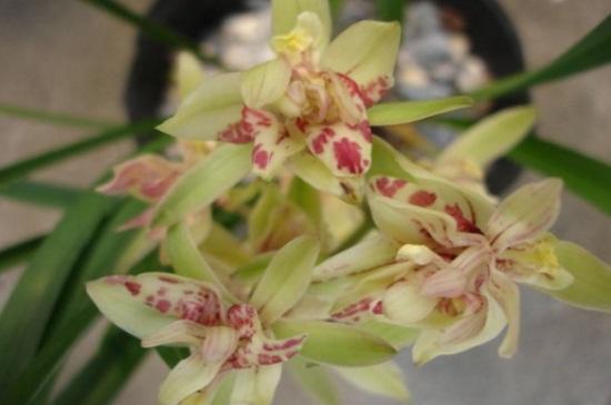 矮种兰花品种