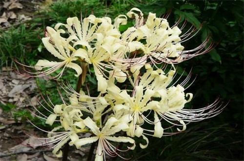 白花石蒜的花語和傳說,代表無盡思念和絕望愛情