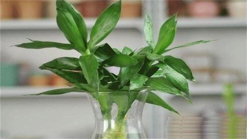 富贵竹怎么水养才旺盛