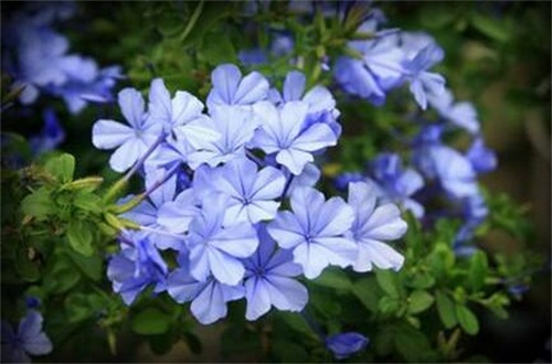 蓝雪花的花语和传说