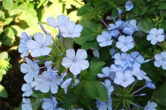 蓝雪花的花语和传说,寓意冷淡和忧郁