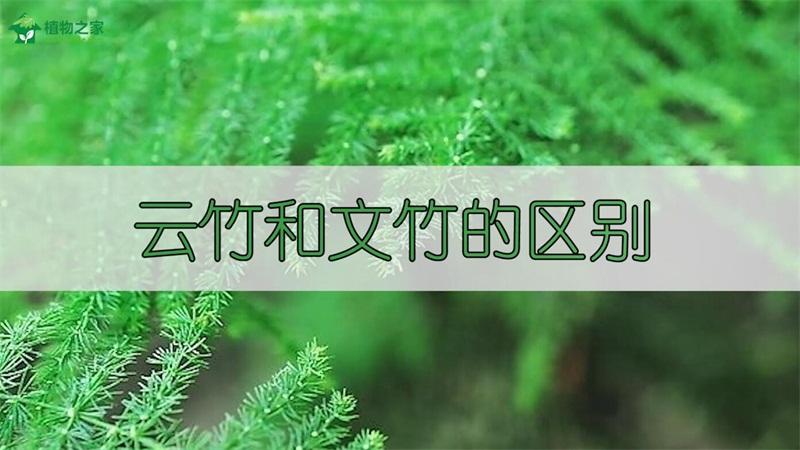 云竹和文竹的区别