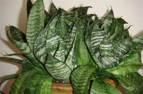 虎尾兰的叶子发软皱褶