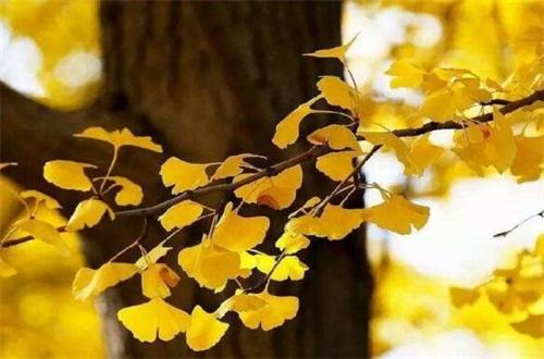 沈阳银杏树最多的地方