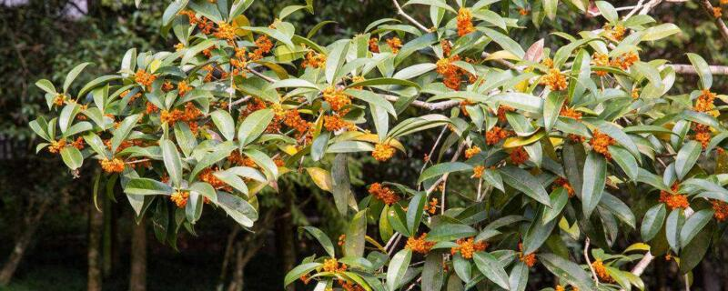 四季桂哪个品种最香