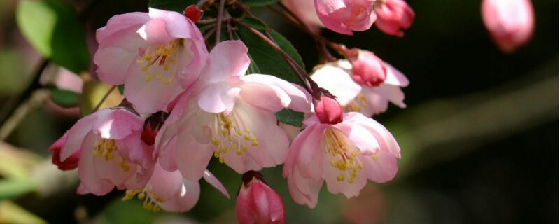 海棠花如何养