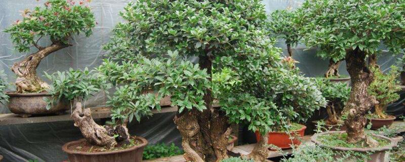 桂花树几月份移栽