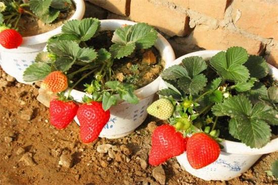 如何种草莓盆栽