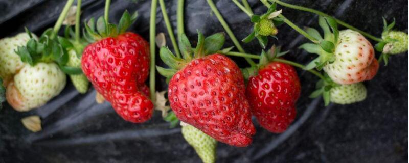 草莓在什么季节成熟