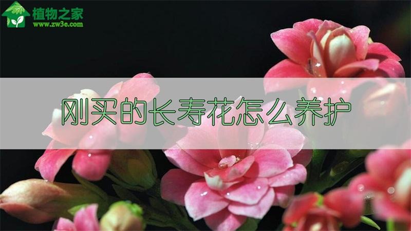 刚买的长寿花怎么养护