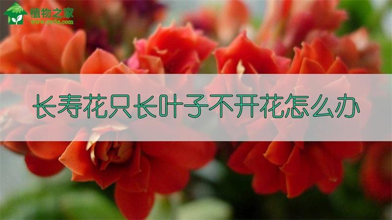 长寿花只长叶子不开花怎么办