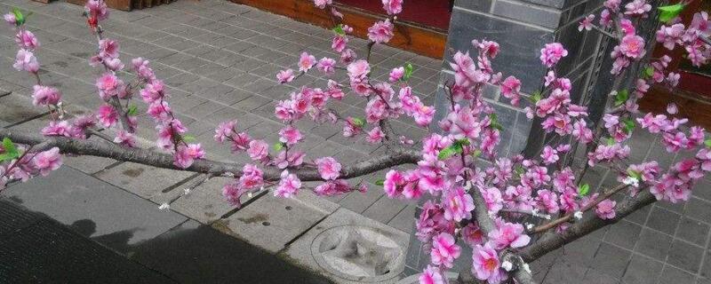 桃花开花季节