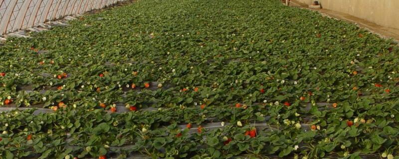 种植草莓需要注意事项