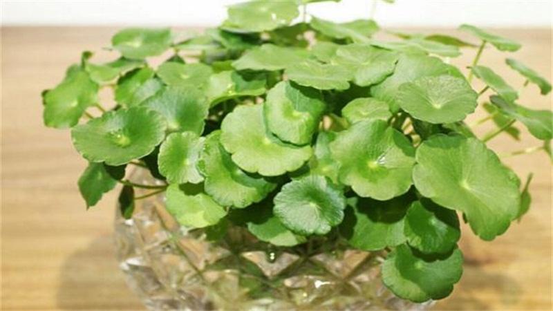 水培铜钱草的养殖方法和注意