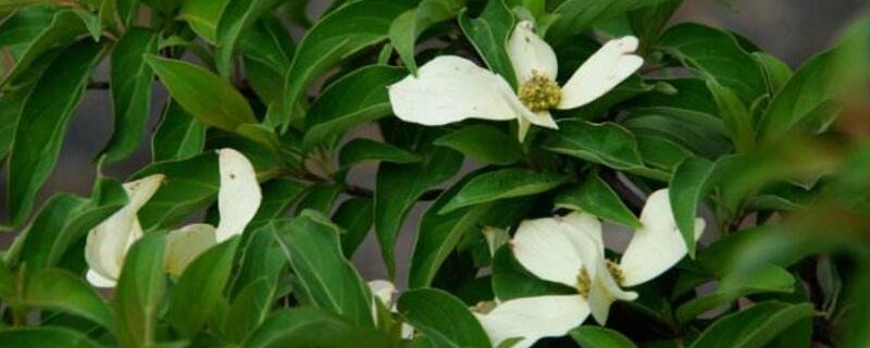 四照花的主要品种
