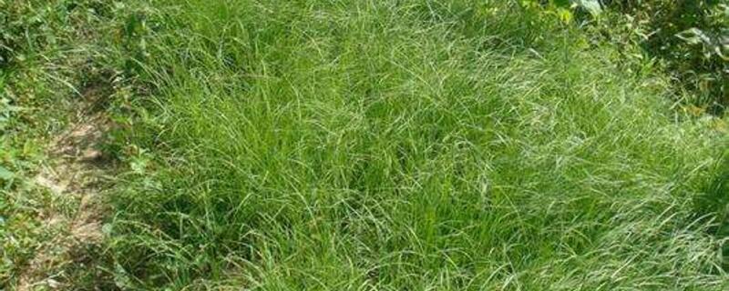 百喜草的养殖方法及注意事项