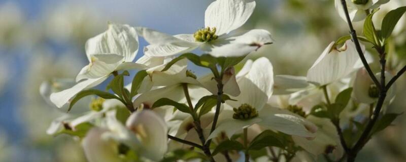 四照花的繁殖方法