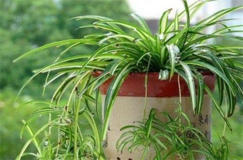土培吊兰夏天怎么养,提高湿度背光养殖