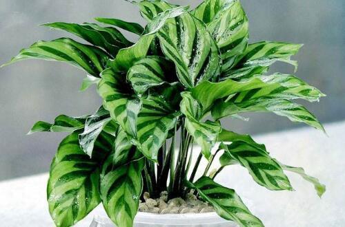 孔雀竹芋水培养殖方法和注意