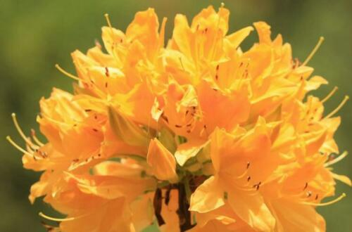 什么样的杜鹃花有毒,黄色和白色杜鹃花有毒