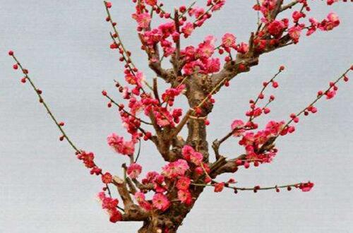 梅花盆景造型,斜干式最具观赏性
