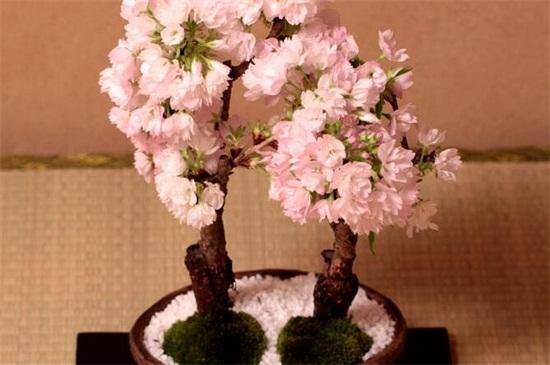 桃花冬天怎么养,做好五点使其安全越冬
