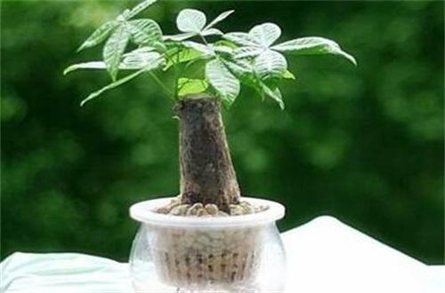 水培发财树的养殖方法和注意