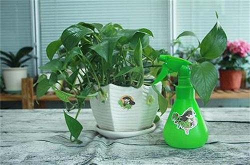 盆栽绿萝冬天怎么施肥,降低施肥频繁溶度