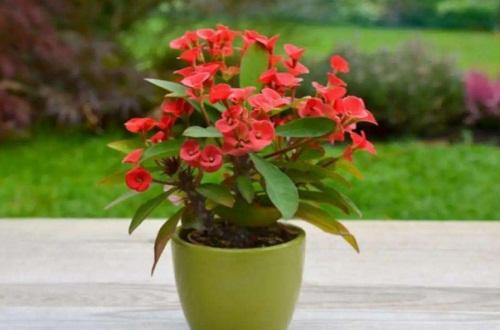 铁海棠的养殖方法和注意事项,夏季施肥并花后修剪
