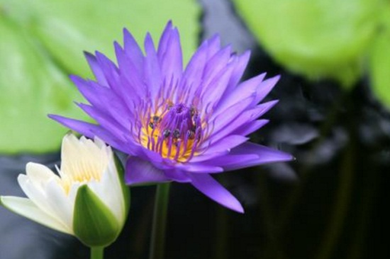 紫莲怎么养,红陶盆栽种老叶修剪