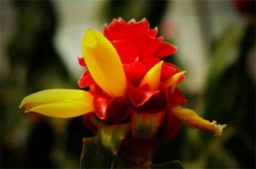 食用生姜开花吗