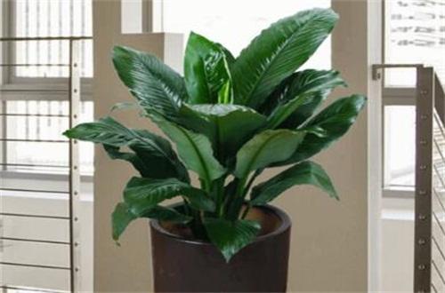 绿巨人花怎么养_绿巨人植物怎么养:喜温暖湿润环境