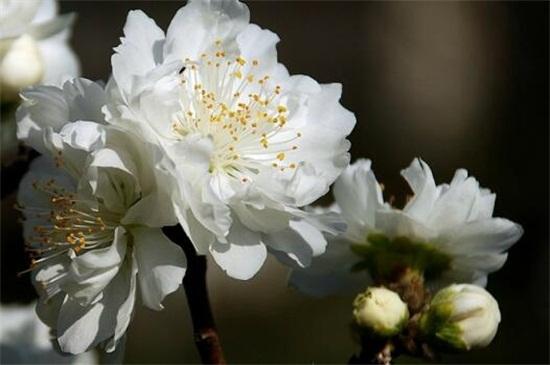 桃花有哪些品种,盘点十种美丽桃花