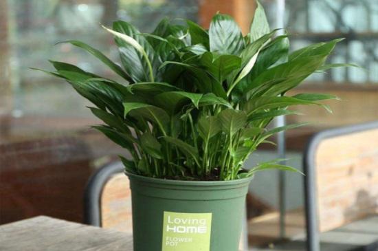 绿巨人花怎么养_绿巨人植物怎么养殖,春秋施肥夏季遮阴