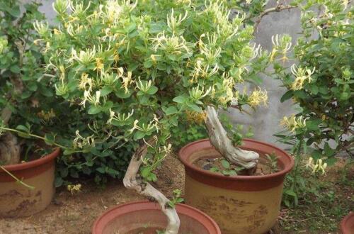 盆栽金银花的养殖方法和注意事项,阴凉环境剪弱根